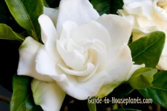 cuidado de la gardenia, gardenia jasminoides, gardenias en crecimiento, plantas de gardenia