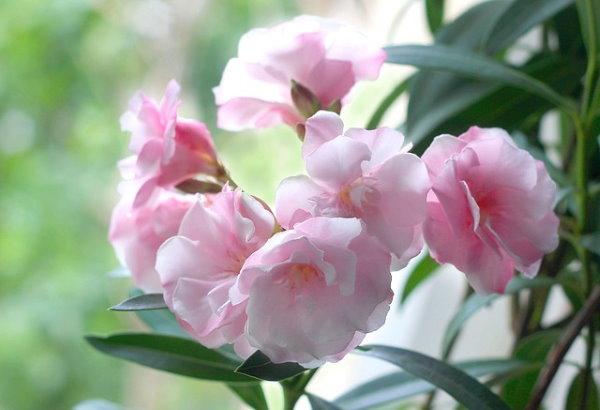 planta de adelfa