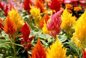 celosia plumosa, planta de celosia, flor de celosia, celosia argentea
