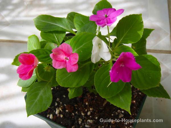 impaciencias flores, impaciencias, impaciencias en crecimiento, cuidado de impaciencias