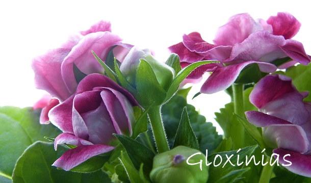 gloxinia, planta de gloxinia, crecimiento de gloxinia, flores de gloxinia, sinningia speciosa